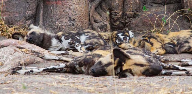 Painted Dog Pile by Nigel Nicholls