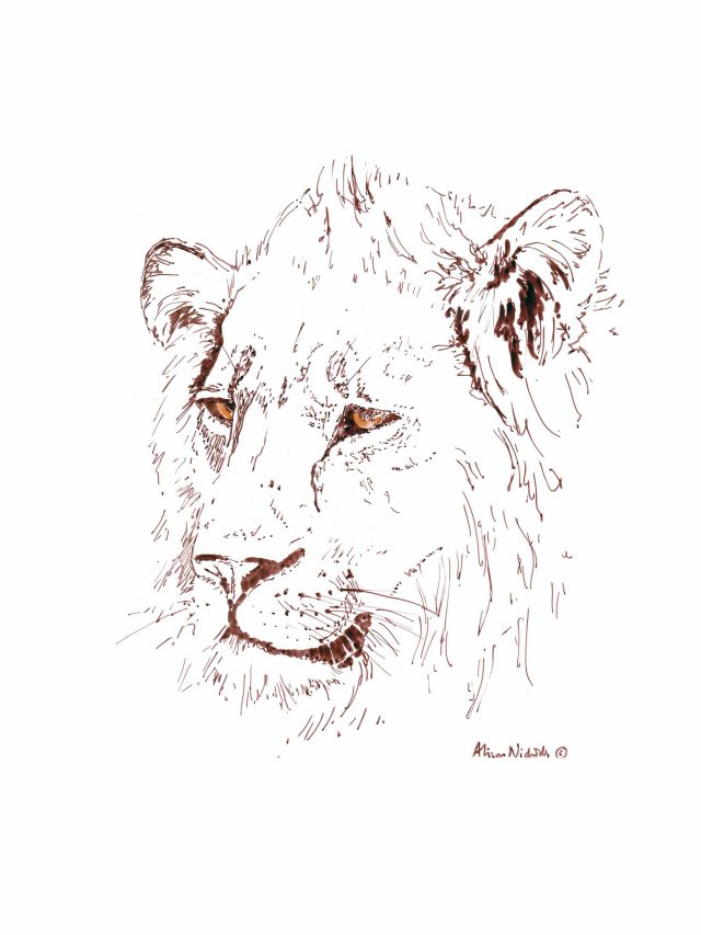 Lion in ink by Alison Nicholls
