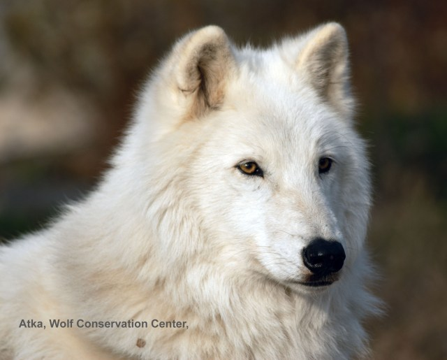 Atka, arctic wolf from Wolf Conservation Center