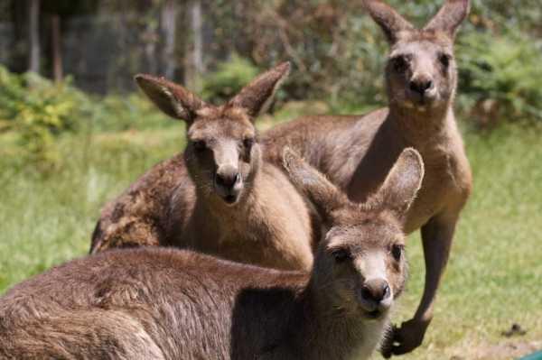 Картинки кенгуру – кенгуру Фотографии, картинки ...