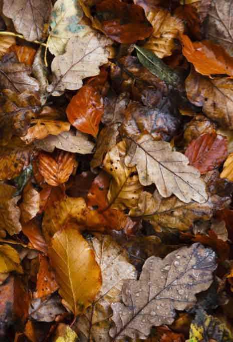 Осенний лист кленовый фото – Осенние листья (40 фото)