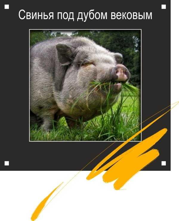 Раскраски свинья под дубом – Раскраска Свинья
