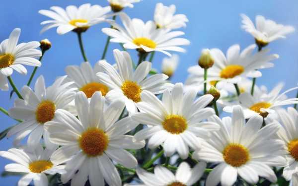 Ромашек букет рисунок – Картинки красивые ромашки (35 фото ...