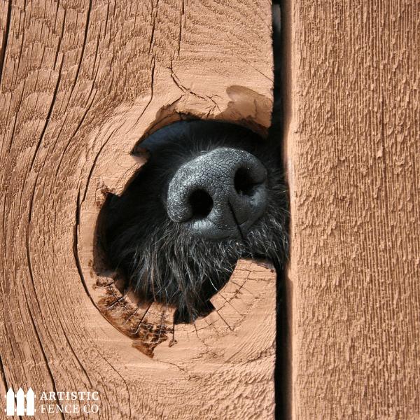 Black lab sticking his nose through a small hole in a wood fence