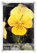 041714_pansy2