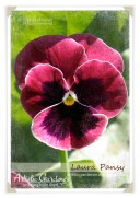 041714_Pansy4