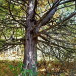 Art During the Pandemic-Cedar Tree Trunk