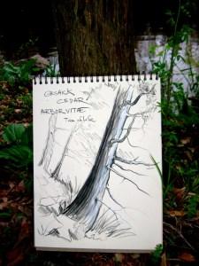 drawing of a cedar tree