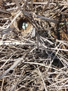 Red-winged Blackbird Nest Photo
