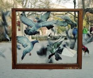 lapham_pigeons2