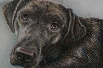 """Labrador Up Close"" 5""x7"", Colored Pencil on Paper, SOLD"