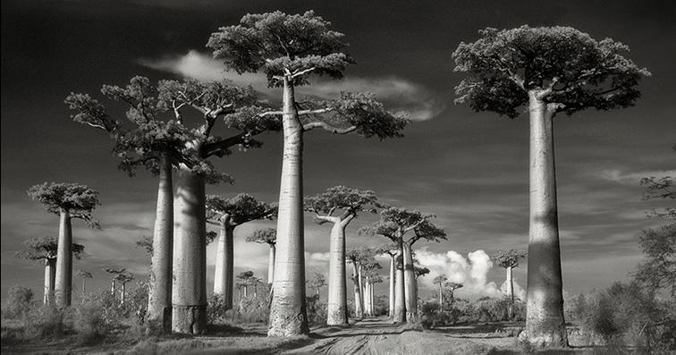 Beth Moon, baobab, Madagascar, ancient, trees, portraits, time