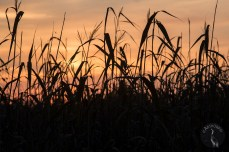 a_bed_of_reeds_0146p