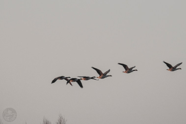 geese_1440p