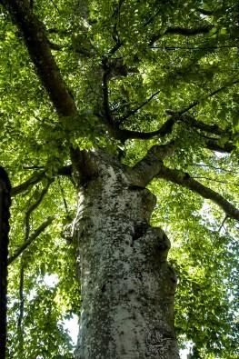 Jubilant_tree2041p