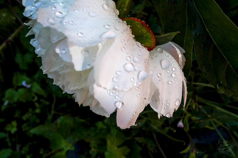single_flowerP1010664_p