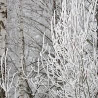 Winter Trees / Talven puita / 3