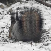 April Squirrel / Huhtikuun orava