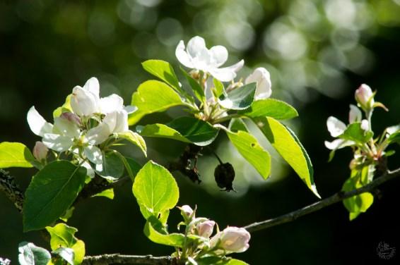 omenapuu_0037p