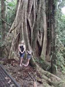 wilson-river-strangler-fig-roots