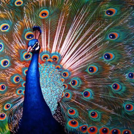 Original Animal Painting by Andriy Pistun | Realism Art on Canvas | Colorful peacock