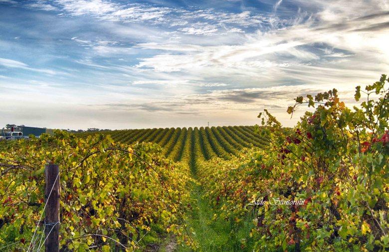 Mclaren Vale Winery, Fleurieu Peninsula, Australia