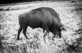 Big Shoulders of the American Bison