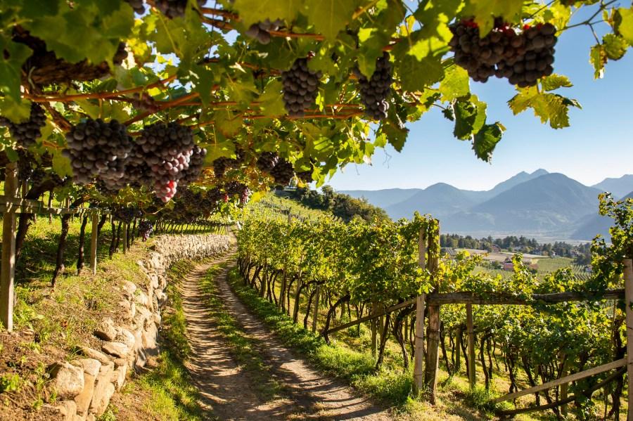 Weinberg der Weinmesser