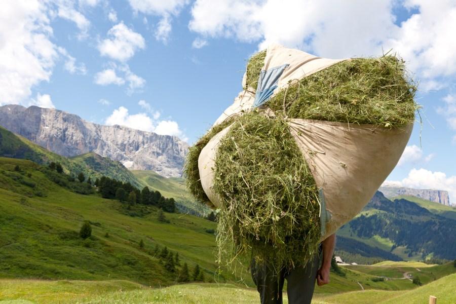 Arnika, Frauenmantel, Enzian. Schafgarbe, Edelraute, Rapunzel. Bis zu 80 verschiedene Gräser, Kräuter und Blumen finden sich in einer Handvoll Südtiroler Bergheu.