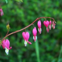 Finding Cinderella in a Bleeding Heart