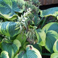 Growing Hostas From Seed