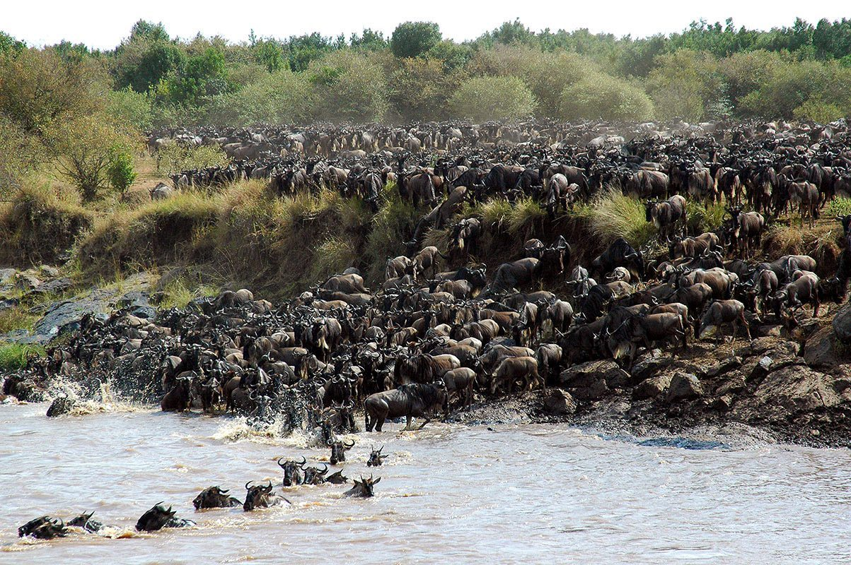 Experience The Wildebeest Migration Crossing The Mara