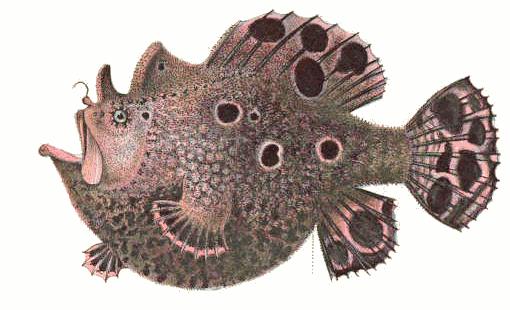 frogfish species