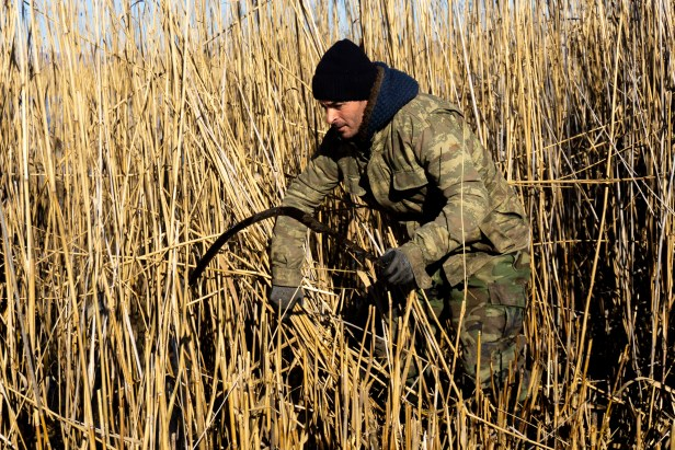 Reed Harvesting From Shallows