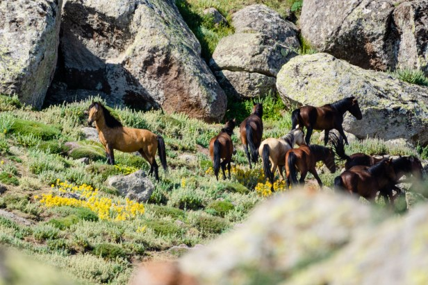 Karama Karadağ Yılkı Atlar