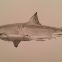Great white shark by Paul Hill