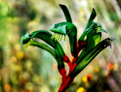 Kangaroo Paw by Rob Cox