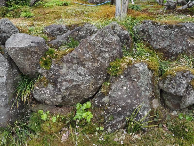 イワヒバと杉苔の風景写真