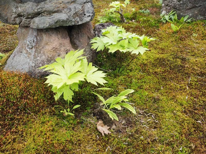 庭の難得手かわからない葉っぱの植物
