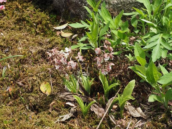 エビネランの自然群生の庭の状況写真