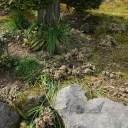 x-t3で撮影画質のレビュー3月のエビネランの地植えの状態の写真2