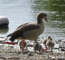 egyptian-goose-young