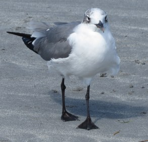 young-laughing-gull