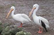 25 wh pelicans