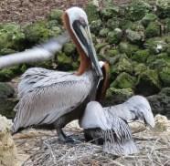 26 br pelicans