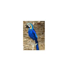 Perroquet_Bleu1