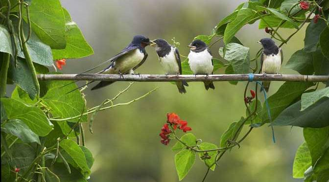 Swallow chicks by Alan Price - winning entrant to a previous International Garden Photographer of the Year competition