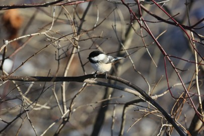 Chickadees aren't shy of people in the city. © Lance McMillan