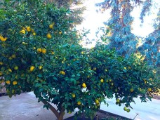 Our Meyer Lemon Tree q