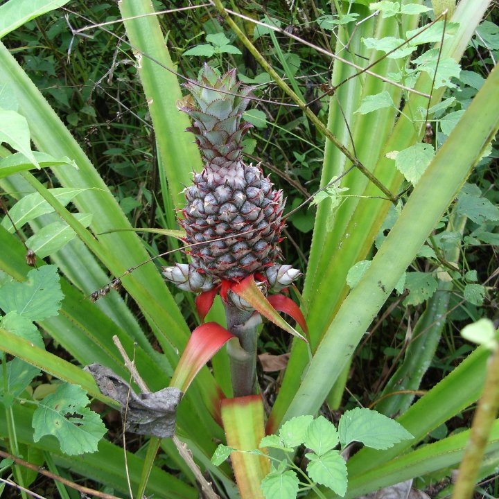 Wild pineapple. Now you know where they come from